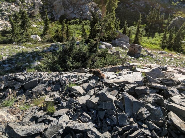 Desolation-wilderness-twin-lakes-marmot