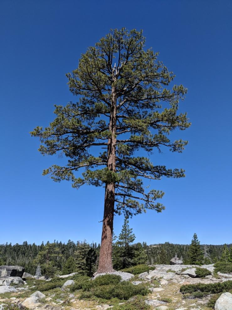 Desolation-wilderness-twin-lakes-trail-large-tree