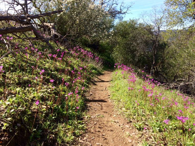 Henry-coe-backpacking-willow-ridge-wildflowers-on-trail