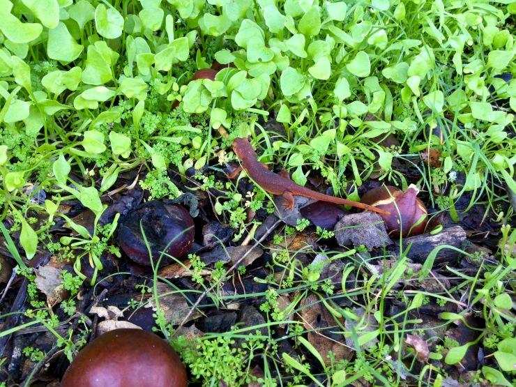 Henry-coe-mississippi-lake-newt