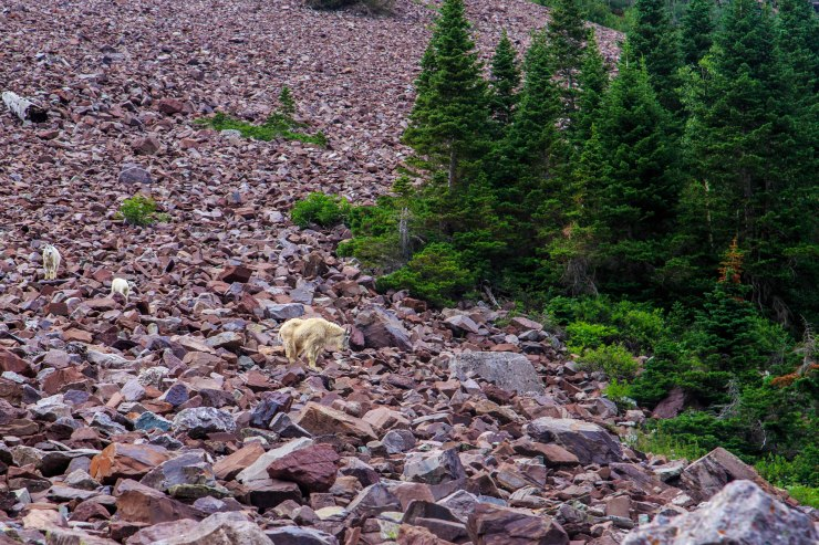 mountain_goats_near_crater_lake