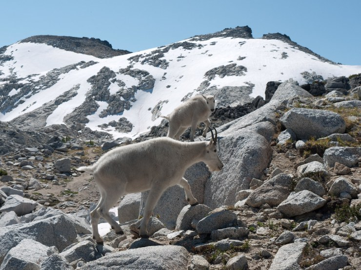 Mountain Goats near the Enchantments-side of Aasgard Pass.