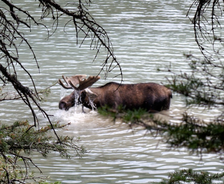 Bull Moose browsing in Glenns Lake in Glacier National Park, Montana