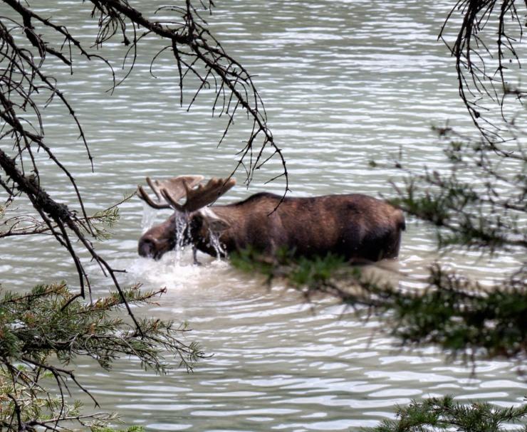 Bull Moose browsing in Glenns Lake in Glacier National Park, Montana