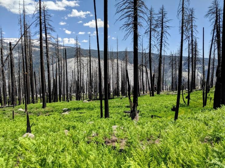 yosemite-backpacking-merced-high-trail-burned-forest