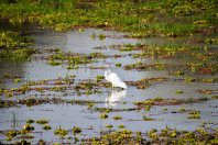 Great White Egret in South Luangwa National Park, Zambia
