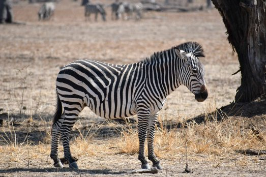 Crayshaw's Zebra in South Luangwa National Park, Zambia