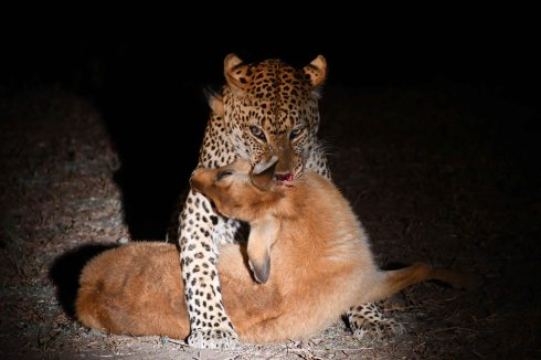 Leopard with a Puku kill in South Luangwa National Park