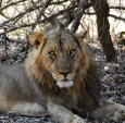 Large male lion from the Nsefu Pride in South Luangwa National PArk