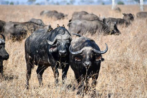 African buffalo in the Salt Pans region of South Luangwa National Park
