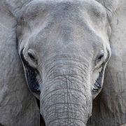 Elephant in the Nsefu region of South Luangwa National Park