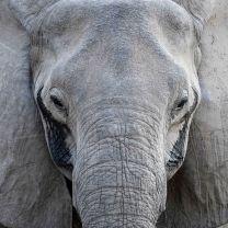 Elephant in the Nsefu region of South Luangwa National Park