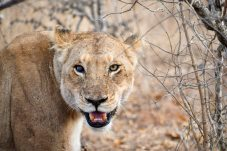 Lioness in the Timbavati Game Reserve in the Greater Kruger National Park