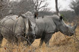 Rhinos in the Klaserie Nature Reserve in the Greater Kruger National Park