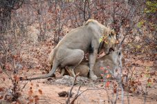 Mating pair of lions in the Klaserie Nature Reserve in the Greater Kruger National Park