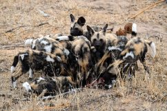 Pack of wild dogs eating an impala in the Klaserie Nature Reserve in the Greater Kruger National Park
