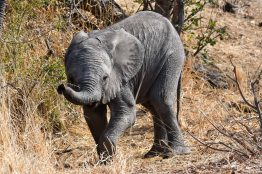 Young elephant in the Klaserie Nature Reserve in the Greater Kruger National Park